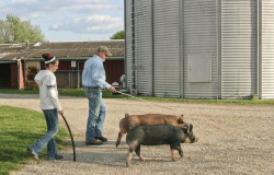 Alexis and her dad, Chris Bergschneider take their show pigs out for a walk.