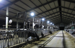 The T-Bar M Dairy Ranch, outside of Durant, Okla., normally uses 250-W metal halide lights in its barns. CRN exchanged those bulbs in 10 fixtures with 120-W LEDs. After six months, the dairy had cut energy use by 55 percent and boosted brightness by 30 percent. Source: Cooperative Research Network