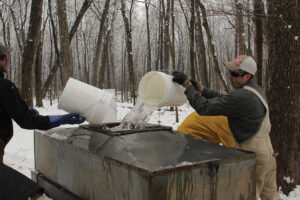 Sap-gatherers pour it into the gathering tank.