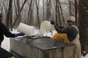 Sap-gatherers pour it into the gathering tank.