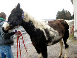Dew is a pinto mare from a Munie, IL rescue. She is blind and underweight, but will hopefully have surgery for cataracts once she picks up weight.
