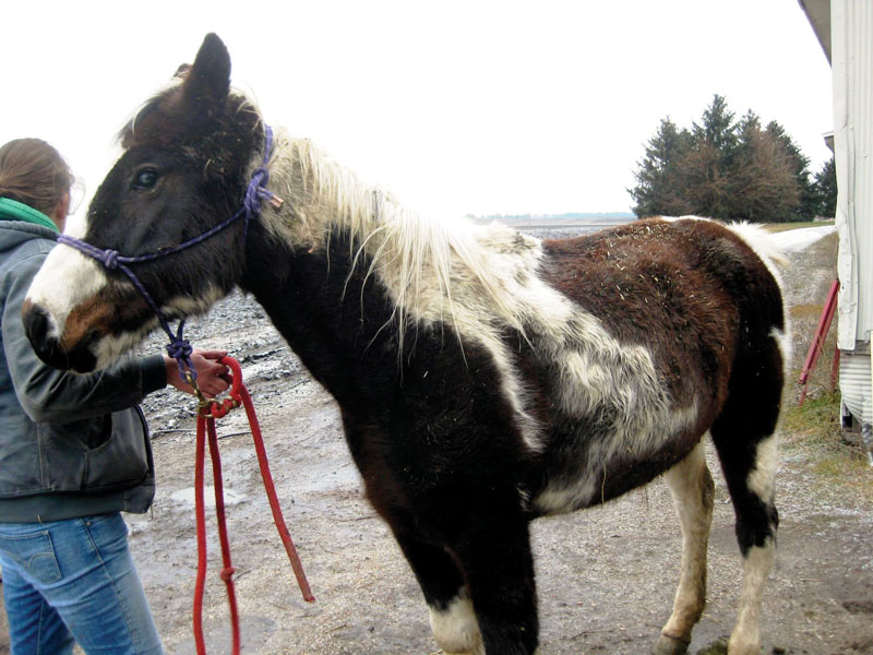 Dew is a pinto mare from a Munie, IL rescue. She is blind and underweight, but will hopefully have ­surgery for cataracts once she picks up weight.