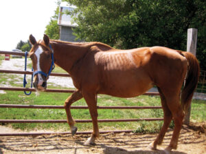Ginger was very underweight and pregnant when rescued.