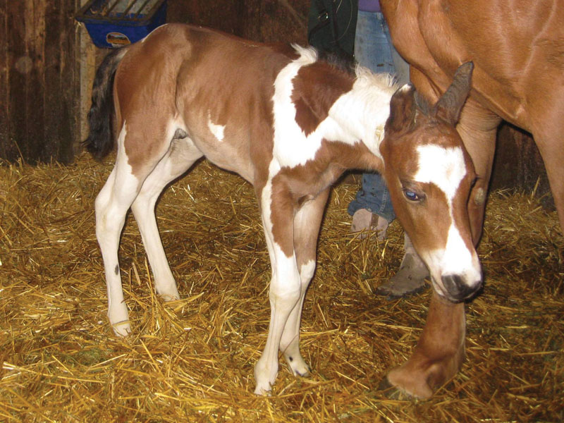 Ginger's healthy colt born March 10, 2013.