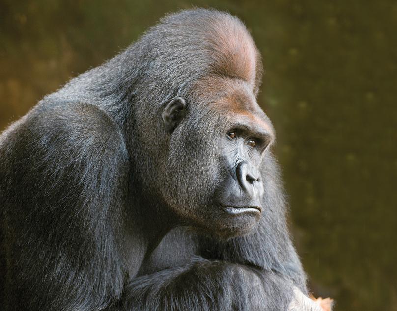 Mr.Gorilla