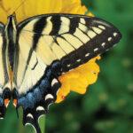 ButterflyHC0504_L_300_C_Y