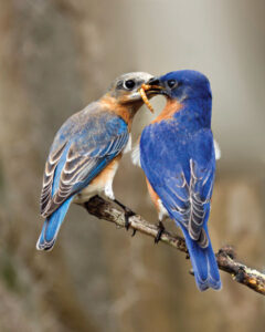 Eastern Bluebirds7
