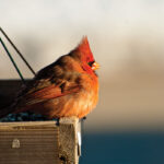 Northern Cardinal male_021