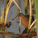 A Virginia Rail sneaks about in the underbrush. Emiquon is rich in bird life and attracts birdwatchers from all over the state. Migration periods offer the greatest possibility of a number of different species.