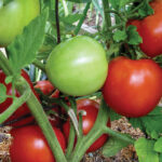 Maters_cropped