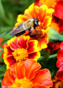 A bee collects pollen from this blooming marigold.