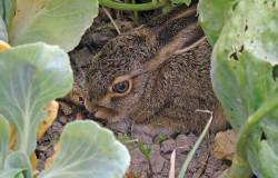 hare-996827_1920_r1
