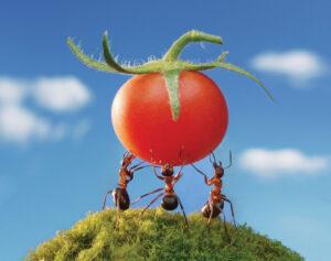 ant red harvest