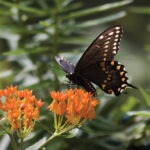 Black Pipevine Swallowtail Feeding on Orange Milkweed