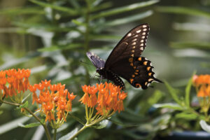 Black Pipevine Swallowtail Feeding on Orange Milkweed