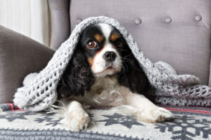 cute dog, cavalier spaniel under the warm grey blanket