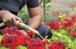 Man watering geraniumus