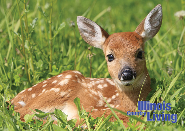 White Tail Fawn lying in grass