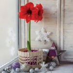 Red amaryllis on a windowsill with Christmas decorations