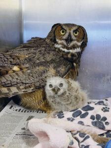 Foster Owl
