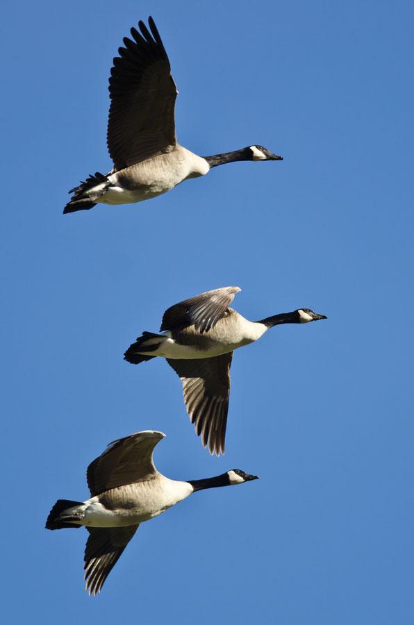 Migratory bird law