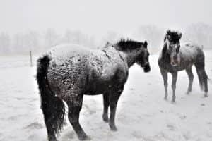 Horse covered in snow