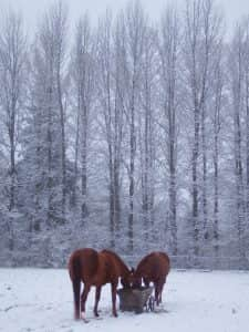 Horses eating in front of snowy tree line.